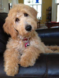 goldendoodle puppy ranch 17 best images about phoebe mcpuppers on logos