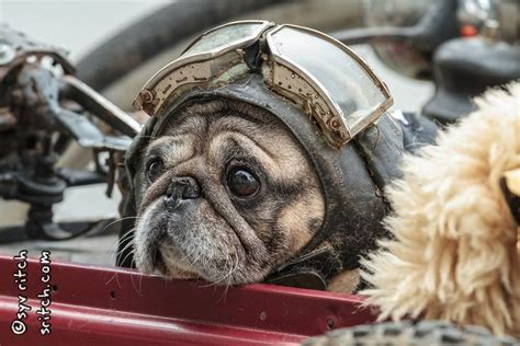 pugs on planes yoda is an pug he wears ride in a sidecar designed like an german plane from