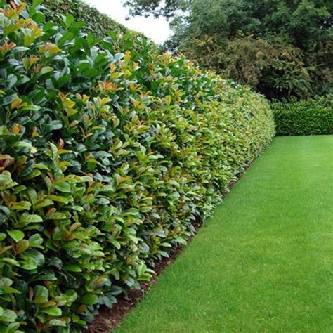 top 10 best plants for hedges and how to plant them plants gardens and landscaping