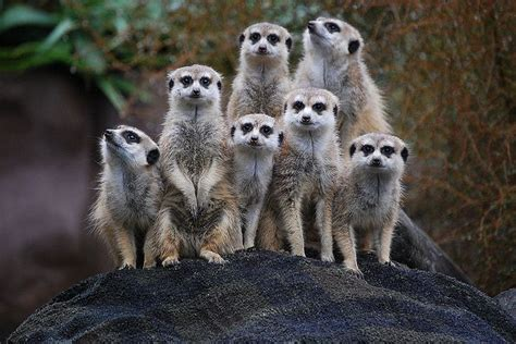 Image Of Meerkat Animals Africa Zoo Lazy - http://www ... Groupings Of Animals