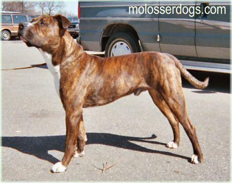 molosser dogs american molosser american bull molosser molosser dogs gallery