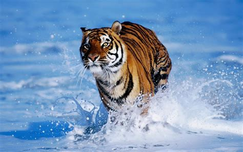 Kontak Tiger 2000 Quality Tiger Running On Water Image Hd 21561 Wallpaper Cool