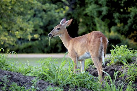 Deer Garden by Deer Proofing Roses How To Prevent Deer Damage To Bushes
