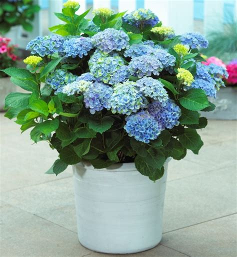 Pupuk Untuk Bunga Dalam Pot cara menanam bunga hydrangea bibitbunga
