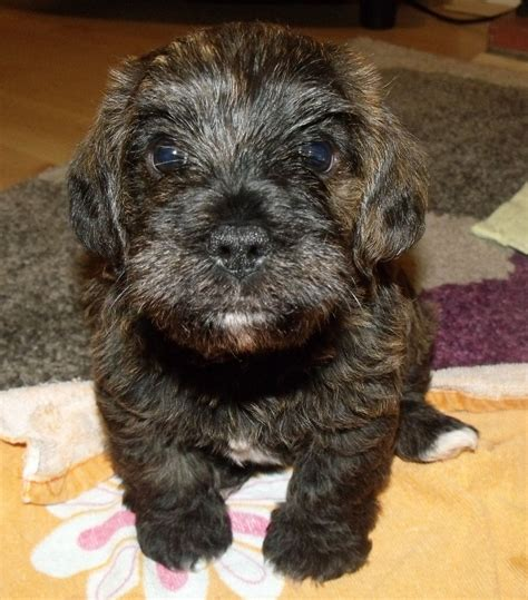 pug cross king charles cavalier for sale king charles spaniel poodle pug mix breeds picture