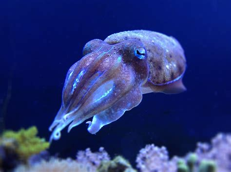 The Cuttlefish (A PBS special from NOVA) | The Readneck ...