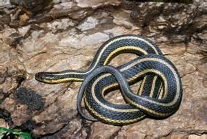 dnr butler s garter snake thamnophis butleri