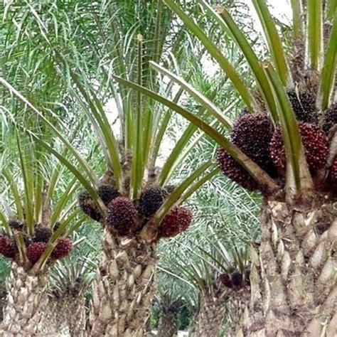 Jual Minyak Kelapa Sawit jual beli distributor kelapa sawit harga termurah