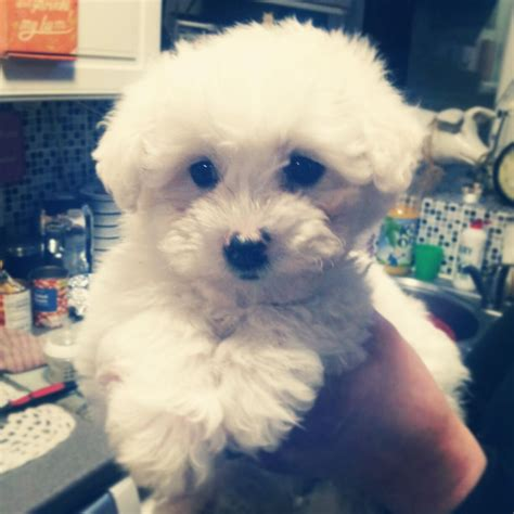 maltese bichon puppies for sale beautiful bichon frise cross maltese puppies rochester kent pets4homes