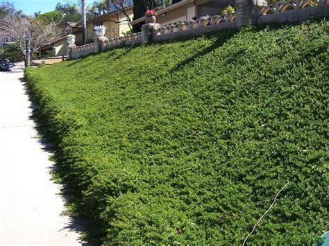 gartengestaltung fotos 3564 myoporum ground cover gardens