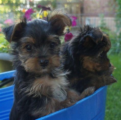 utah yorkies adopted puppies fancy utah yorkies
