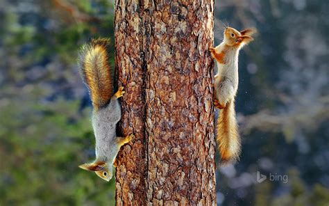 bing pictures as wallpaper squirrel eurasian red squirrels in finland 169 jorma luhta minden