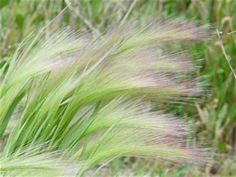 plant awns foxtail barley pictures