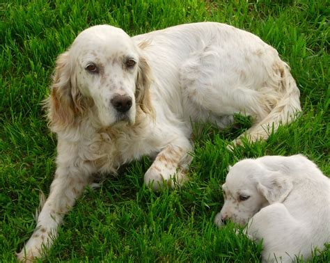 lemon setter dog english setter addison the english setter puppies