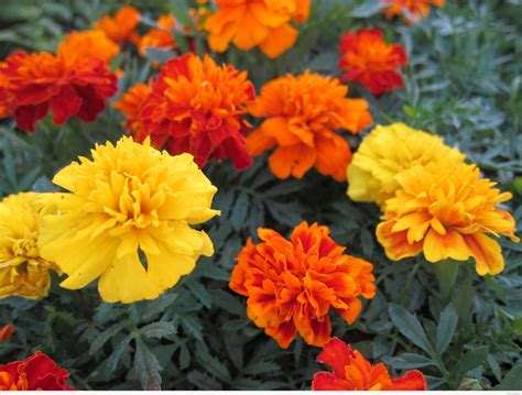 Marigolds Shade | plant of the day marigolds artful planters