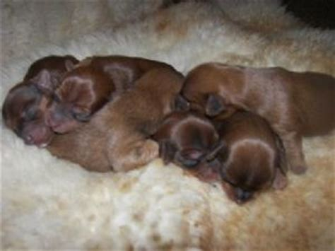 chocolate yorkie breeders terrier puppies in