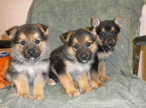 baby german shepherd puppies baby german shepherd puppies breeds puppies stop biting baby german