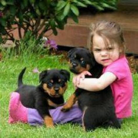 rottweiler puppies in louisiana akc rottweiler puppies sms 302 524 7873 dogs puppies