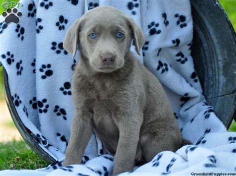 labrador doodle puppies for sale 1000 ideas about labradoodle puppies for sale on