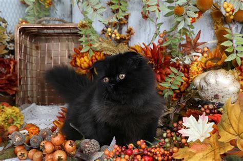 rug huggers rug hugger kittens rug huggersultra kittens for sale 660 292 2222