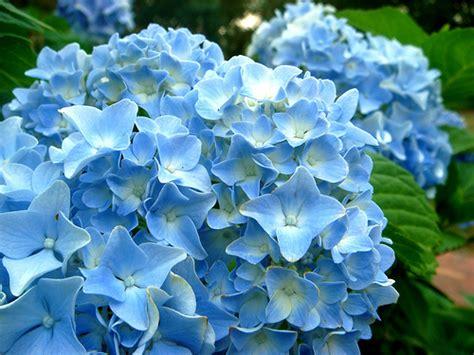 shrub with blue flowers blue flower shrub a blue flower shrub at tanglewood park