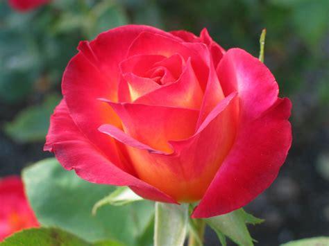roze roses wallpaper 33610852 fanpop