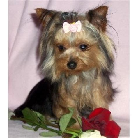 teacup yorkies in virginia yorkie puppies for adoption in va how much money did heath ledger make the
