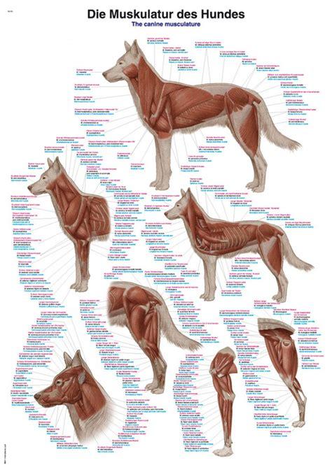bench latin bench in latin kaufen sie von hundemuskel 70x100 cm poster anatomie fringues de