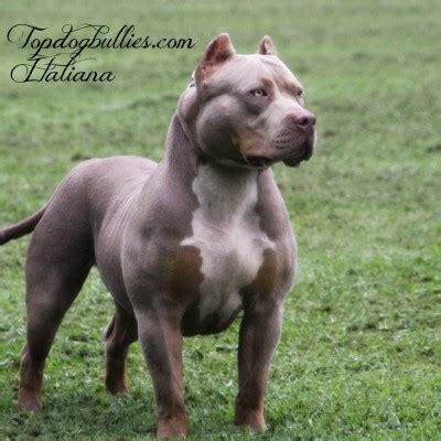xxl biggest  extreme pitbulls american bully breeder