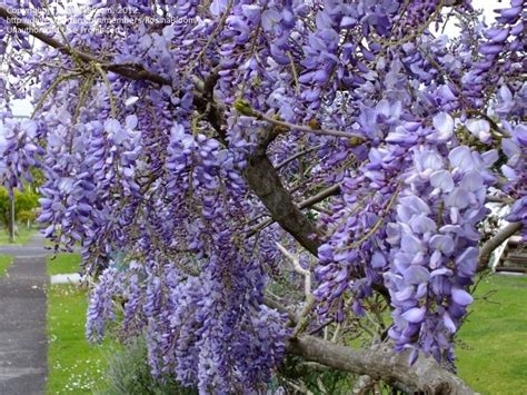 28 best wisteria growing conditions standard wisteria sinensis tree fragnant leaf blue