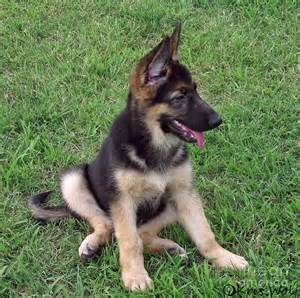 german shepherd wolf mix puppies for sale german shepherd and wolf mix puppies www pixshark images galleries with a bite
