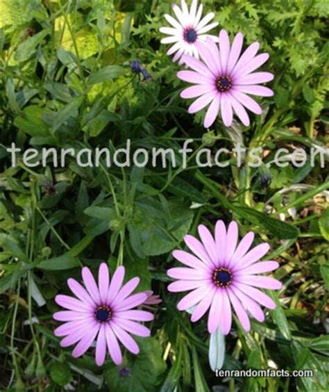 daisy facts african daisy ten random facts