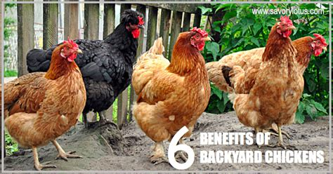 6 Benefits Of Backyard Chickens Savory Lotus Benefits Of Backyard Chickens