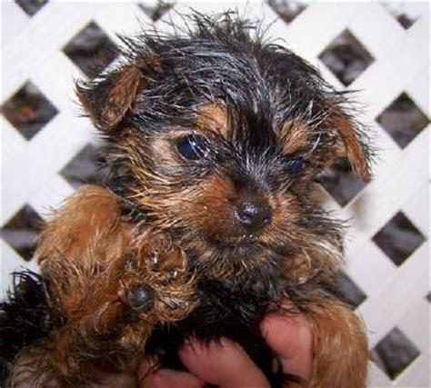 when do yorkies change color healthy pups terrier puppies