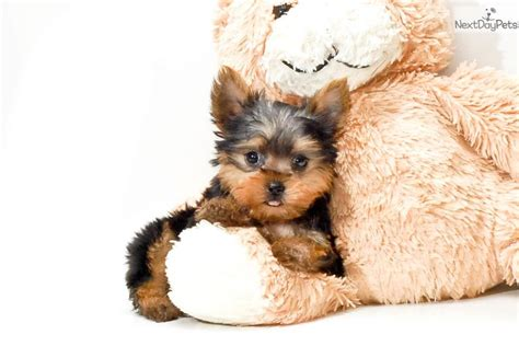 yorkies for sale in dc teacup romeo terrier yorkie puppy for sale near washington dc bdde16c6 bb91