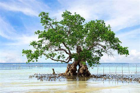 importance mangrove forest pitara kids network