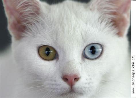 foto di gatti persiani bianchi perch 232 molti gatti bianchi sono sordi