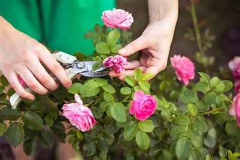roses back vcut top tips for pruning a bush ashridge nurseries