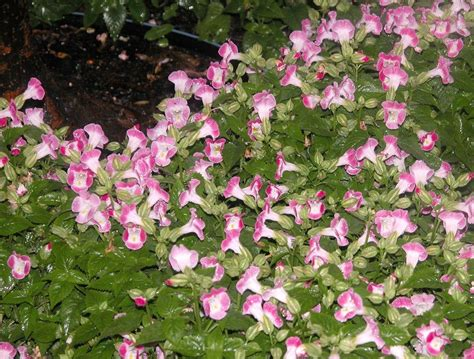 garden flowers and plants torenia wishbone flower growing info and care of wishbone