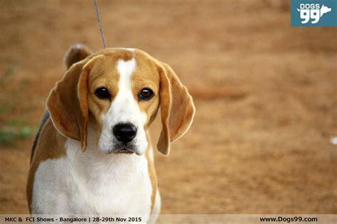 puppy show mkc fci show bangalore 2015 68 shows