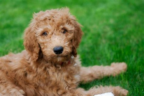 doodle retriever puppy goldendoodle golden retriever poodle mix