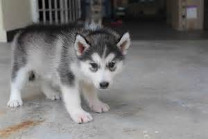grey siberian husky puppies about animals