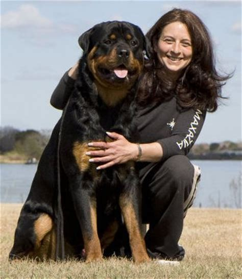 what were rottweilers bred to do certified rottweiler breeders rottie information photos thedogplace