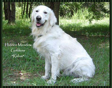 golden meadow retrievers meadow white golden retrievers quot rufus photo gallery quot