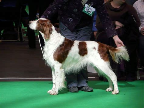 irish red and white setter dogs for sale irish red white setter puppies for sale hebden bridge