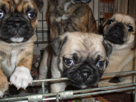bulldog x pug puppies for sale my last puppy pug x bulldog for sale oldham greater manchester pets4homes