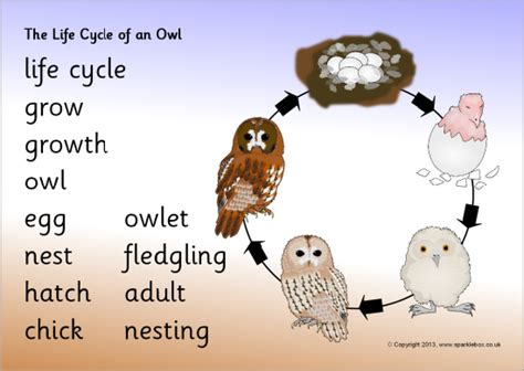 life cycle of an owl word mat sb9496 sparklebox