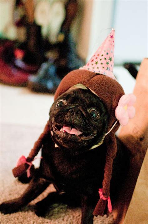 excited pug excited pug pugapalooza