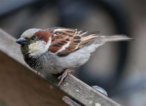 house sparrow implications of between individual variation of cone photoreceptor densities in house