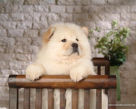 chow puppy chow chow puppy wallpaper puppies wallpaper 13936761 fanpop